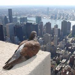 Taube auf dem Empire State Building mit Blick auf Manhatten